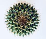 Odgórny widok pincushion kaktus fotografia royalty free