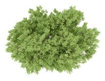 Odgórny widok pospolity bukowy drzewo odizolowywający na bielu Obraz Stock