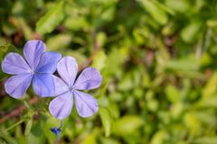 Odgórny widok purpurowi kwiaty na zamazanym zielonym liścia tle zdjęcie stock