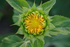 Słonecznik zaczyna kwitnąć 01 Obrazy Stock