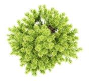 Odgórny widok sosnowa krzak roślina odizolowywająca na bielu Obraz Stock