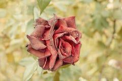 Odgórny widok suchy czerwieni róży kwiat w ogródzie Strzelający stonowany w rocznika kolorze, selekcyjna ostrość zamazywał tło ro Obrazy Royalty Free