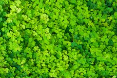 Odgórny widok wiele zielonych małych liści wzrostowi przelotowi od ziemi w ogródzie obraz stock