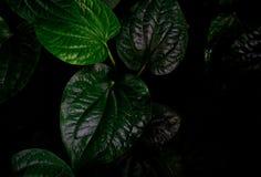 Odgórny widok Wildbetal Leafbush dudziarza sarmentosum Roxb Zieleń opuszcza tekstury tło jako depresji wydajny ziołowy hypericum  zdjęcia stock