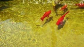 Odgórny widok złoto łowi i inny egzotyczny rybi dopłynięcie w stawie zbiory