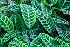 Odgórny widok zebry rośliny Calathea Zebrina tropikalna pasiasta wiecznozielona ornamentacyjna roślina opuszcza ulistnienie tapet obraz stock