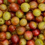 Odgórny widok zielona i czerwona agrestowa owoc Obrazy Royalty Free