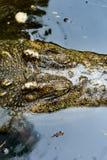 Odg?rny widok krokodyl g?owa w wodzie, w g?r? obrazy royalty free