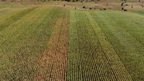 Odg?rny widok s?onecznikowy i kukurydzany pole przy zmierzchem w lecie zdjęcie wideo