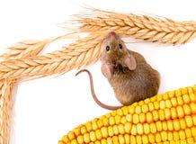 Odgórny widok domowa mysz wzdłuż ziaren (Mus musculus) Zdjęcie Royalty Free