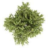 Odgórny widok pospolity bukowy drzewo na bielu Fotografia Stock