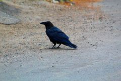 Odin ou Raven en parc national de Yellowstone photo libre de droits