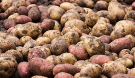 Odiskade rå nya potatisar - matbakgrund Royaltyfri Foto