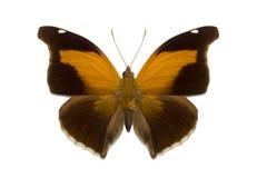 Odius tropical aislado de Historis de la mariposa Imagenes de archivo