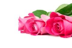 Odizolowywać na biel różowe Róże obrazy stock