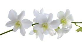 Odizolowywa białe orchidee Fotografia Stock