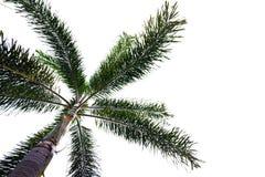 Odizolowywa kokosowego drzewa jest natury przedmiotem Obrazy Stock