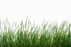 Odizolowywa wysokiej zielonej trawy Obrazy Stock