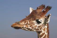 odizolowywająca żyrafy głowa Fotografia Stock