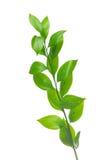 odizolowywająca gałęziasta zieleń Obraz Stock