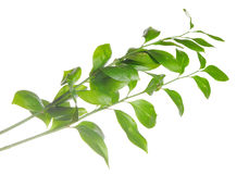 odizolowywająca gałęziasta zieleń Obraz Royalty Free