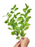 odizolowywająca gałęziasta zieleń Zdjęcia Stock
