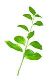 odizolowywająca gałęziasta zieleń Fotografia Royalty Free