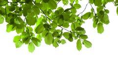 odizolowywająca gałęziasta zieleń Zdjęcia Royalty Free