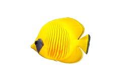 odizolowywająca motylia ryba Zdjęcia Royalty Free