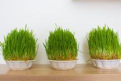odizolowywająca trawy świeża zieleń Obrazy Royalty Free