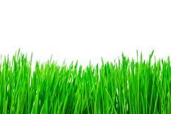 odizolowywająca trawy zieleń zdjęcie stock