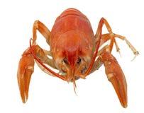 odizolowywający żywy crayfish Fotografia Royalty Free
