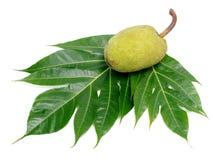 Odizolowywający Breadfruit liść Fotografia Royalty Free