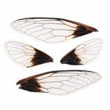 Odizolowywający cykad skrzydła Fotografia Stock