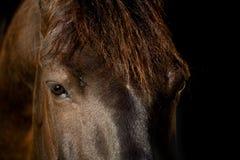 odizolowywający czarny kierowniczy koń Fotografia Royalty Free