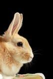 odizolowywający czarny królik fotografia royalty free