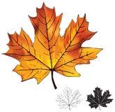 Odizolowywający jesień liść klonowy Fotografia Stock