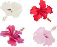 odizolowywający kwiatu poślubnik cztery Fotografia Royalty Free