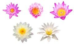 Odizolowywający lotosowy kwiat na białym tle w kolekci Obraz Stock