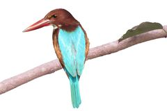 odizolowywający na białym tło zimorodka ptaku jest usytuowanym na drzewie Obraz Stock