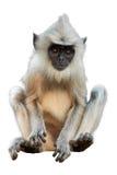 Odizolowywający na białym tle, langur dziecko zdjęcie royalty free