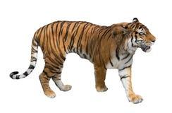 Odizolowywający na białym wielkim tygrysie zdjęcie royalty free