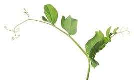 Odizolowywający na białym zielonego grochu trzonie Obrazy Royalty Free