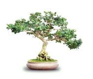 Odizolowywający na Biel Bonsai mały Drzewo Obraz Royalty Free