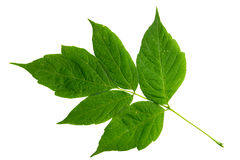 Odizolowywający na biel klonowy drzewo zielony liść Obraz Stock