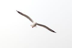 Odizolowywający na biel latający seagull Fotografia Royalty Free