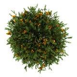 Odizolowywający na biel pomarańczowy drzewo odgórny widok Obraz Stock