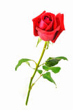 odizolowywający nad czerwieni róży biel Zdjęcie Stock