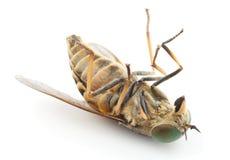 Odizolowywający nieżywy horsefly, Zdjęcia Royalty Free