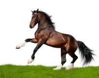 odizolowywający podpalany koń Fotografia Stock